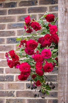 Climbing red rose escaped from the garden and blooming against a brick wall
