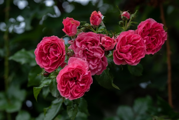 Climbing rose bush flowers on arching branches
