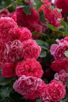 Вьющиеся цветы куста роз на изогнутых ветвях