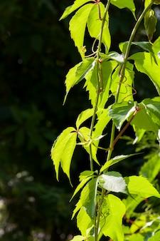 Вьющиеся кустарники с зеленой листвой