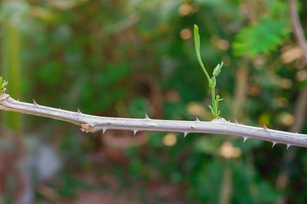 Climbing wattle or acacia