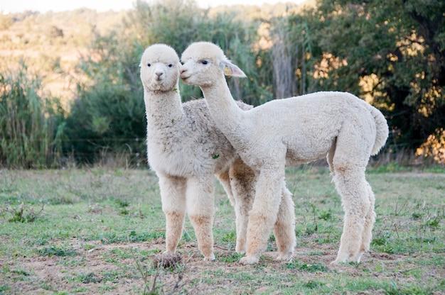 Clipped baby alpaga camelids clip daughter