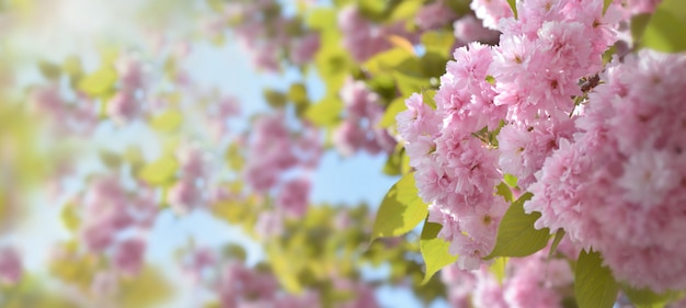 Close on beautiful pink flowers of a ornamental cherry tree in sunligh