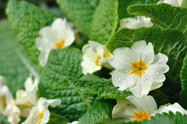 Close on beautiful primroses