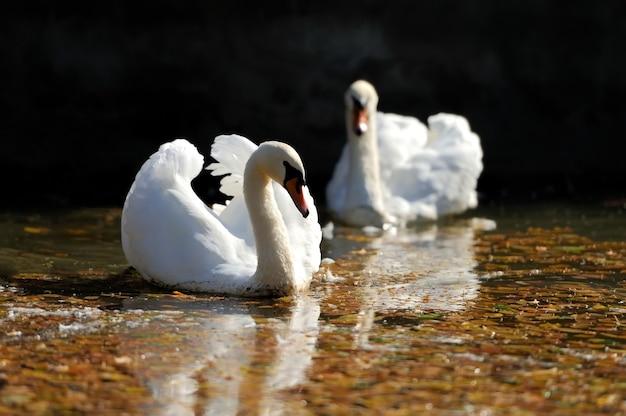 湖で泳いでいる美しい白鳥を閉じる
