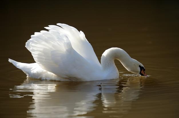 Закройте красивый лебедь, купающийся в озере