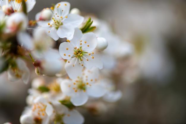 Закройте цветущее яблоко на фоне природы, весенние цветы