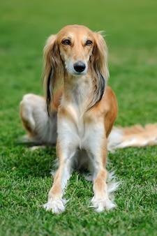 Close brown borzoi dog in green summer grass