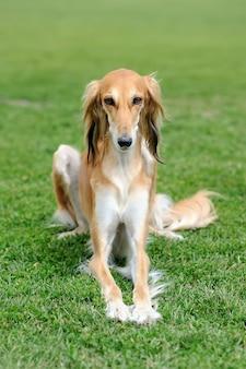 Крупным планом коричневая борзая собака в зеленой летней траве