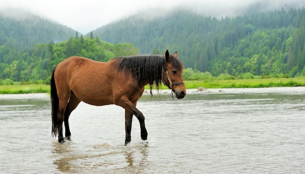 Close brown horse in mountain river