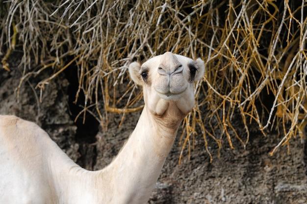 아프리카에서 가까운 낙타 머리