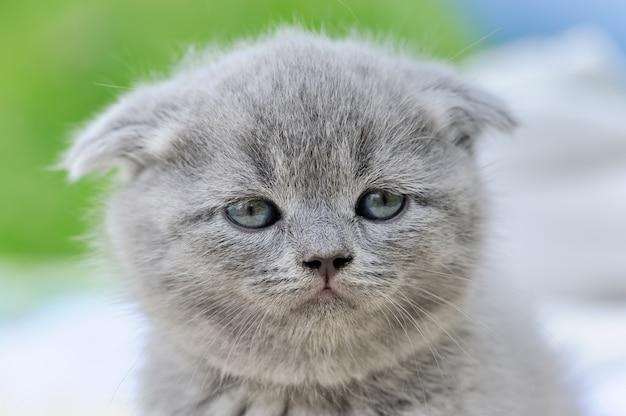 Close cute gray kitten portrait in nature. baby scottish fold cat portrait
