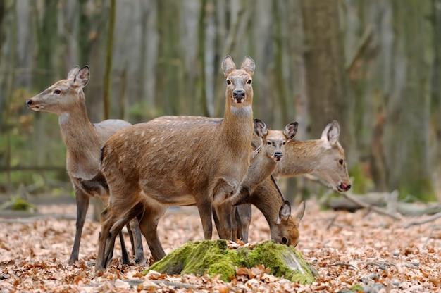 Закрыть олень в естественной среде осенью