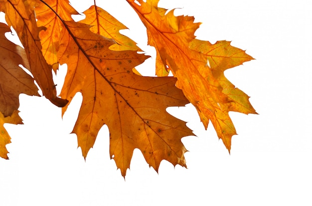 Close on dry oak leaf with colors autumnal isolated on white background