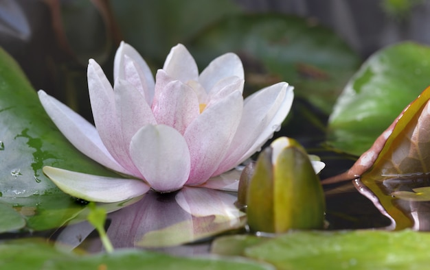 Close on flower of a waterlily among leave in a pond