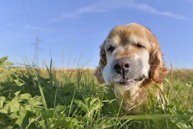 Close on a funny portrait of a dog golden retriever eating grass in a field