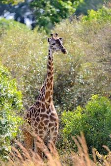 アフリカ、ケニアの国立公園でキリンを閉じる