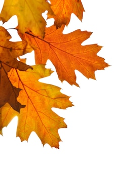Close on golden oak leaves isolated on white background