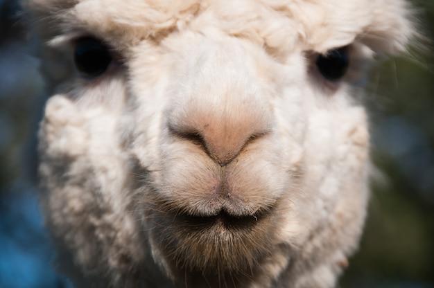 Close herbivore mouth camelids animals cria