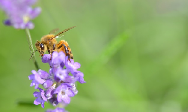 Close on a honey bee on a lavender flower on green