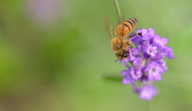 Close on a honey bee on lavender flower on green