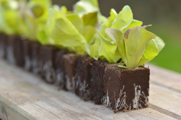 Close on lettuce seedlings in line on a table  in a garden