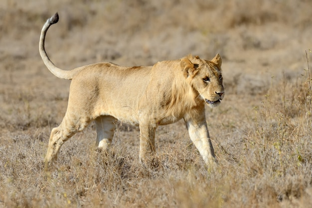 アフリカ、ケニアの国立公園でライオンを閉じる
