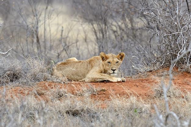 Закройте лев в национальном парке кении, африка