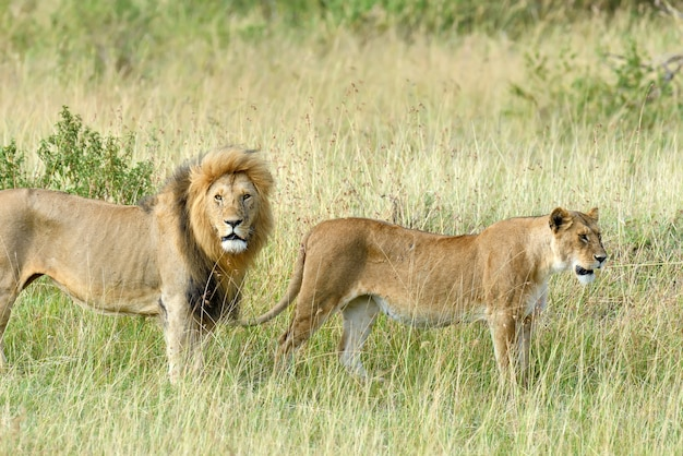 ケニアの国立公園でライオンを閉じる