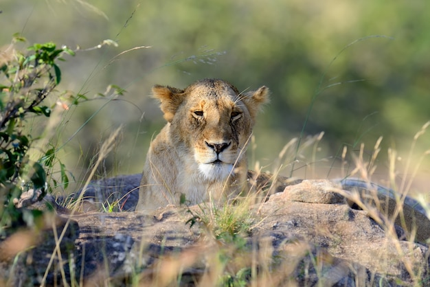 Close lion in national park of kenya, africa