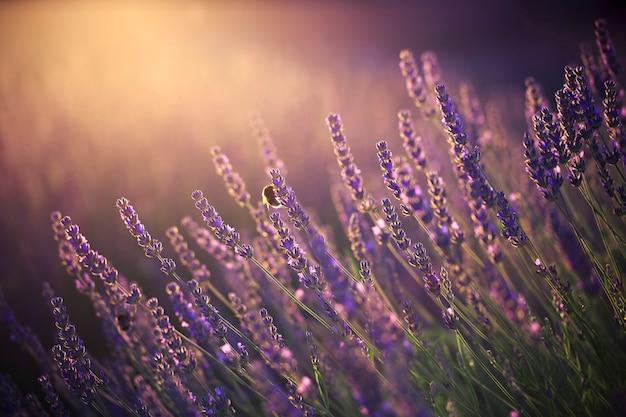 Close look at lavender