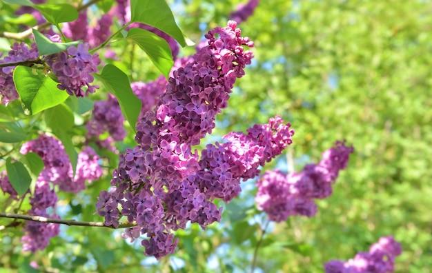 Закрыть на красивые фиолетовые цветы сирени, цветущие в зеленой листве