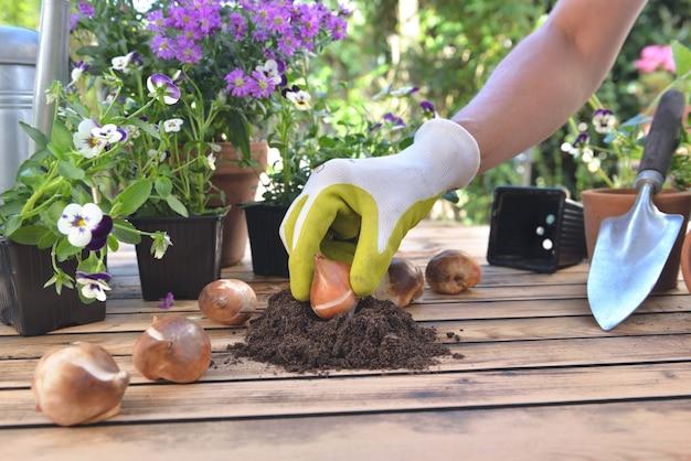 庭のテーブルの土にチューリップの球根を持っている庭師の手で閉じる