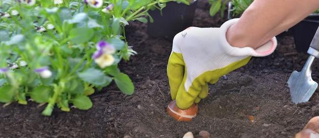 Рядом садовник, держащий луковицу тюльпана в почве в саду