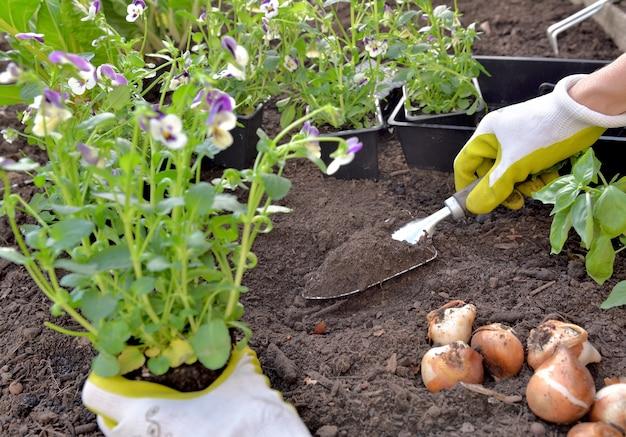 정원의 토양에 비올라 꽃을 심는 정원사의 손에 가까이