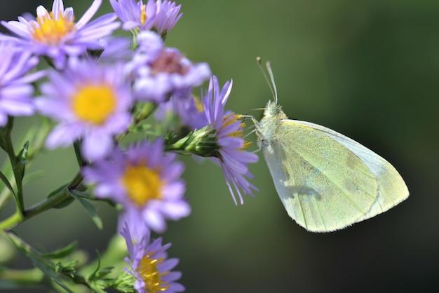 ピンクのアスターの花を養うピエリド蝶を閉じる