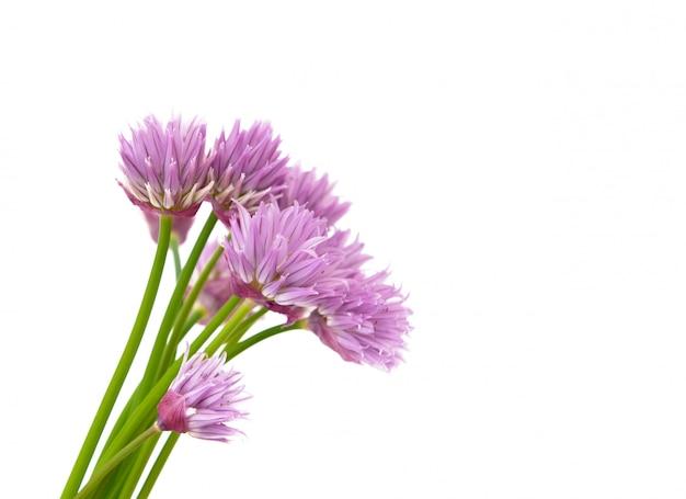 Закрыть на красивые цветы цветущего зеленого лука