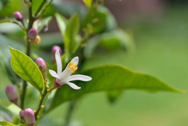 Закрыть на белый цветок цветущего лимонного дерева