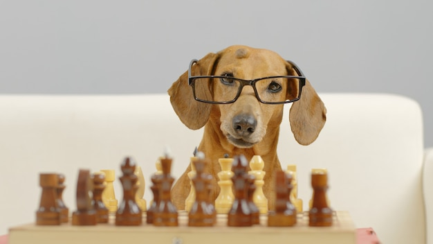 Close op of smart dachshund muzzle with glasses playing chess trained dog