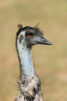 Закройте голову птицы страуса в природе