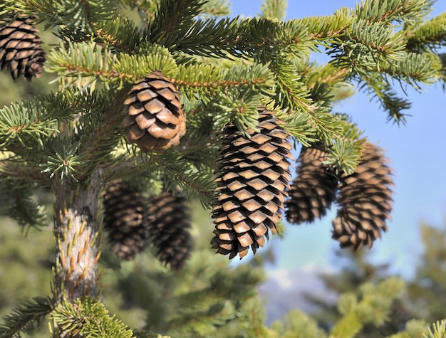 Close on picecone in a fir