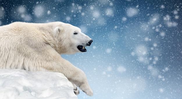 Close polar bear on a melting ice floe in the arctic sea