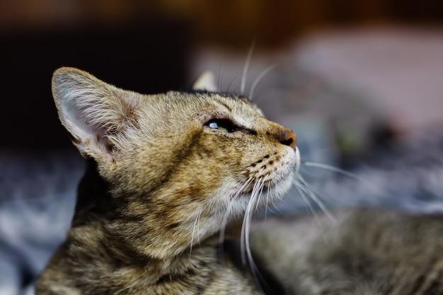 Chiudere il ritratto del bellissimo gatto spogliato rilassante sulla coperta zebra