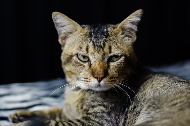 Крупным планом портрет красивой раздетой кошки, расслабляющейся на одеяле зебры