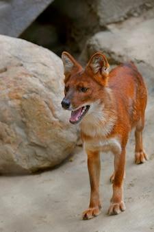 Close portrait of a red fox