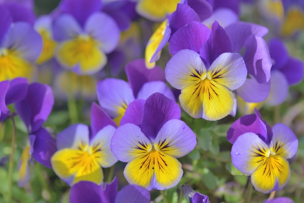 Close on pretty little viola yeallow and purple blooming in a garden