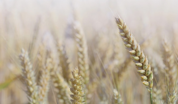 Close on ripe ear of wheat growth in a field