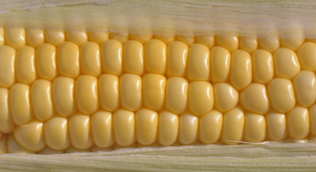 Close on seeds of a fresh sweet corn in cob