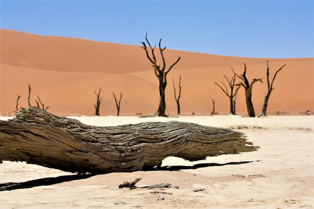 Close shot of a broken camel thorn tree in the desert with sand dunes and a clear sky