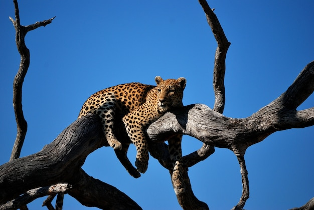 Close shot of a leopard laying on a tree with blue sky in the background